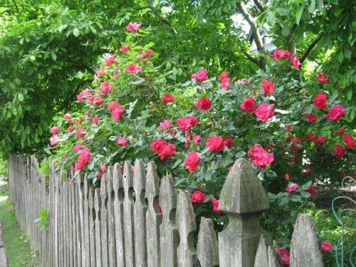 RosesPicketFenceParkAveMayfair